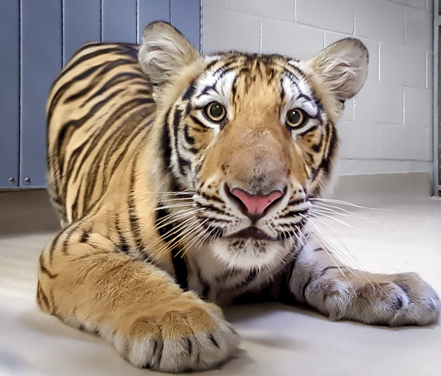 LSU announces potential Mike VII is on campus